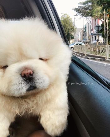 fluffy-dog-chowchow-puffie-the-chow-13-595a4fd75cb24__700