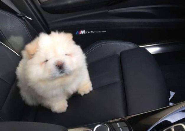 fluffy-dog-chowchow-puffie-the-chow-6-595a4fc6b39f3__700