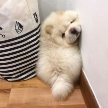 fluffy-dog-chowchow-puffie-the-chow-7-595a4fc95a90a__700