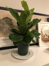 "Found this 10 "" Fiddle Leaf Fig on Amazon for $15. I think I want to make a pedestal planter for it. (No, Kit doesn't go for plants, but still, good to keep it out out of eyeline.)"