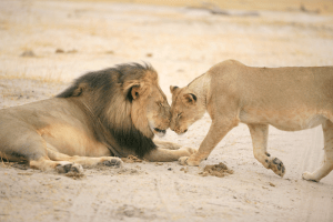 Cecil-the-Lion-Brent-Staplekamp-Cecil-and-his-lioness