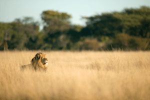Cecil-the-Lion-Brent-Staplekamp-Cecil-taking-the-air-(revised)