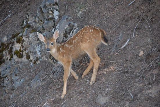 Blacktailed deer fawn- Odocoileus hemionus columbianus