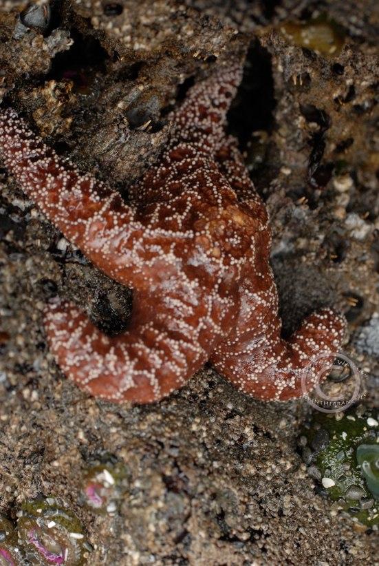 Ochre Sea Star - Pisaster ochraceus