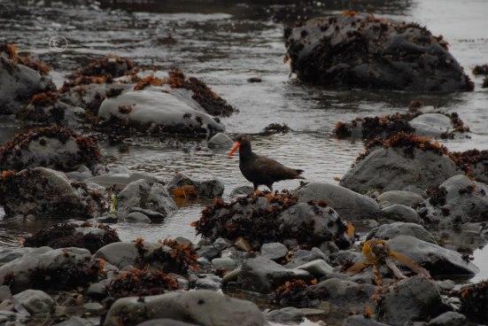 Pigeon Guillemot - cepphus columba