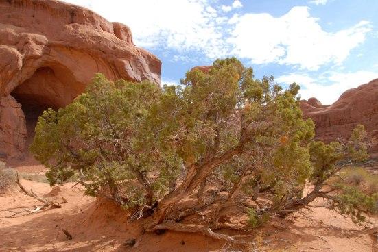 Healthy Utah Juniper