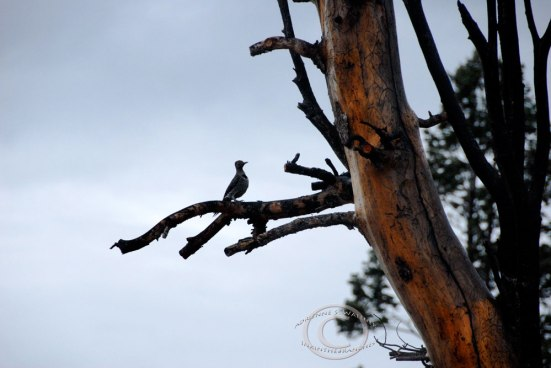 Northern Flicker (Colaptes auratus) - Black Birch Canyon, Bryce Canyon