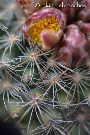 Pediocactus simpsonii var. minor - Mountain Ball Cactus