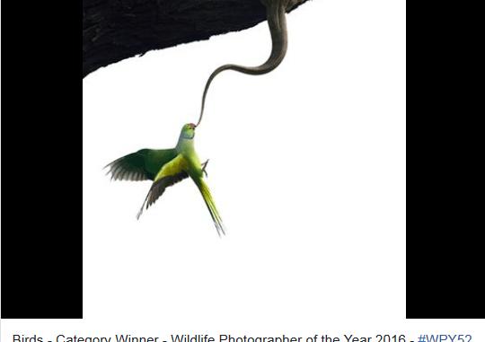 野生動物フォトコンテスト受賞作のワカケホンセイインコ