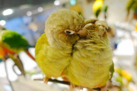 鳥のいるカフェのウロコインコ