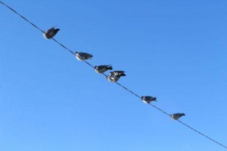 電線に止まる鳥