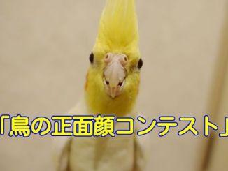 鳥の正面顔コンテスト・オカメインコ