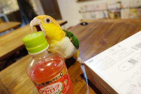 ペットボトルに夢中のシロハラインコ(鳥のいるカフェ)
