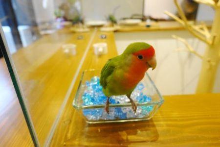 インコカフェ「LoveBird Cafe CHERRY」のコザクラインコ・草ちゃん