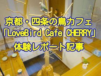京都の鳥カフェLovebird Cafe CHERRYの体験レポート記事