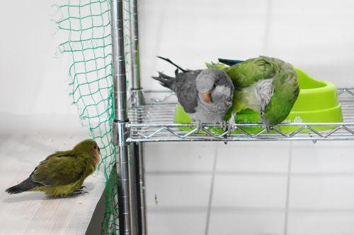 千葉の鳥カフェ「kotoriya」のオキナインコと、コザクラインコ