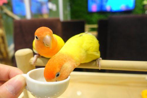 関西・大阪心斎橋の鳥カフェ「The Step up OSAKA」のコザクラインコにおやつ体験