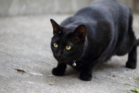 飼い猫の外飼いによって野鳥や小動物が狩猟される被害