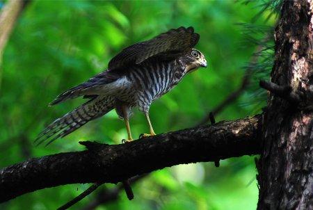 ダーウィンが来たに登場する猛禽類は、日本最小のタカ「ツミ」にクローズアップ