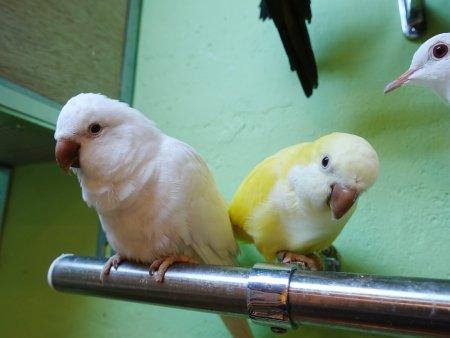 鳥のいるカフェ浅草店のオキナインコの色変わり、ルチノーとアルビノ