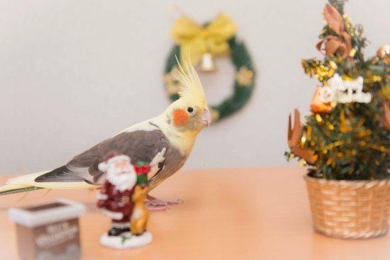 第6回愛鳥フォトコンテスト「クリスマス」の岡本勇太氏のオカメインコ・コンピー