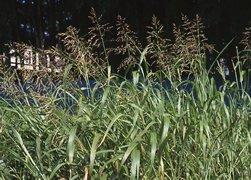 インコが食べられる野草「セイバンモロコシ」
