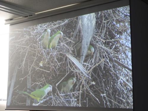 南米の野生のオキナインコの巣で複数羽が生活