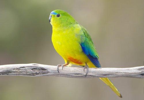 アカハラワカバインコ(オス)が枝に止まっている写真(英名はOrange-bellied parrot)