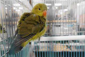 バード&スモールアニマルフェアで展示されていたハツハナインコの幼鳥の後ろ向き