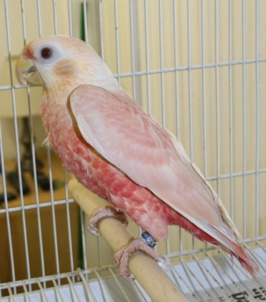 ピンク色の羽を持つスミレインコの色変わり