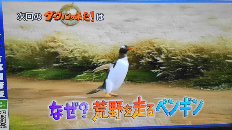 ダーウィンが来た・ジェンツーペンギン特集の予告映像、荒野を走っている