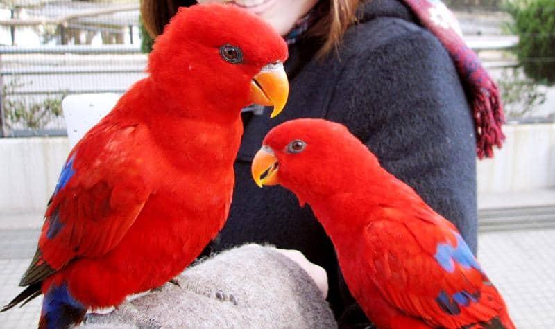 ヒインコのペア(2羽)の写真、全身を覆う真っ赤な羽が特徴的