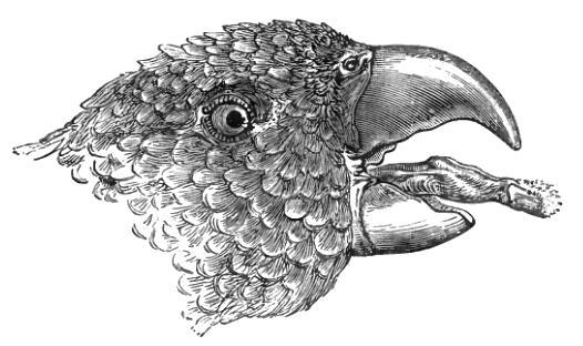 ローリー・ロリキート(ヒインコ亜科)のインコは、花密食のため、舌がブラシ状に発達した