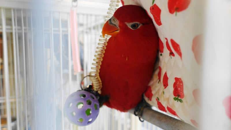 鳥のいるカフェ谷中本店のショウジョウインコのリンゴちゃんがボールで遊んでいる様子