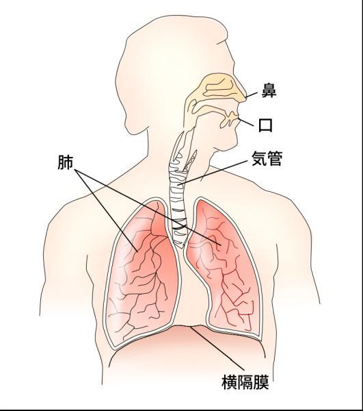 横隔膜と肺との関係を表した図