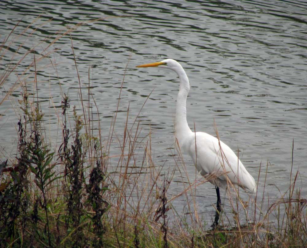 Egret - White Heron