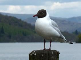 black-headed_gull