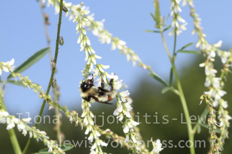 Bombus rufocinctus on sweet white clover August 2013