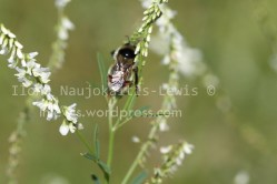 Bombus rufocinctus on sweet white clover, August 2013