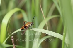 likely Hemaris diffinis, August 2013
