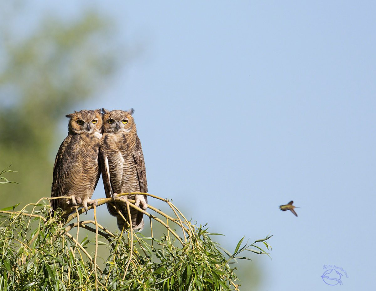 Two Great Horned Owls photo-bombed by a hummingbird