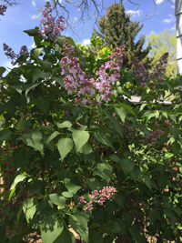 Image of Lilac Spears