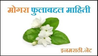 mogra-flower-information-in-marathi