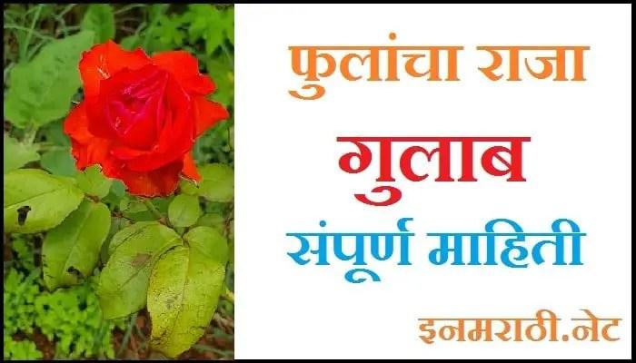 rose-information-in-marathi