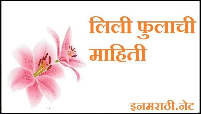 Lily-flower-information-in-marathi