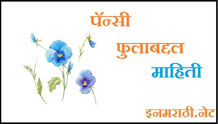 pansy-flower-information-in-marathi