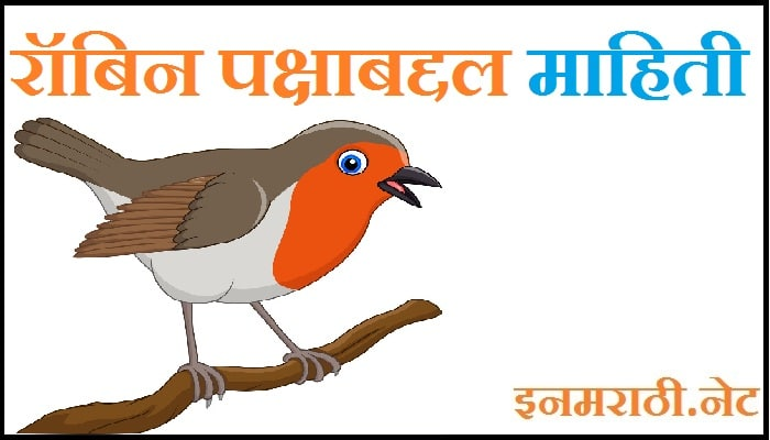 indian robin bird information in marathi