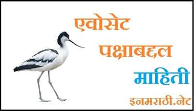 avocet bird information in marathi