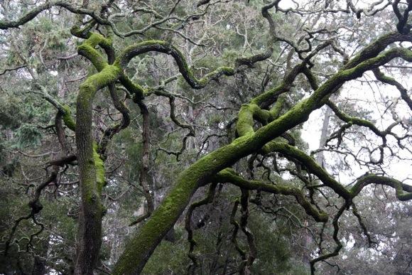 oaks in Menlo Oaks neighborhood of Menlo Park