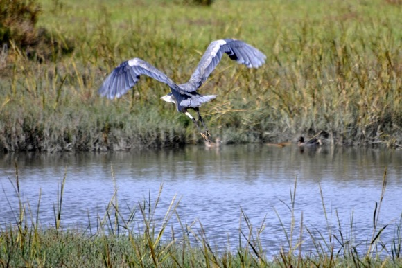 Great Blue Heron takes off at Bedwell Bayfront Park